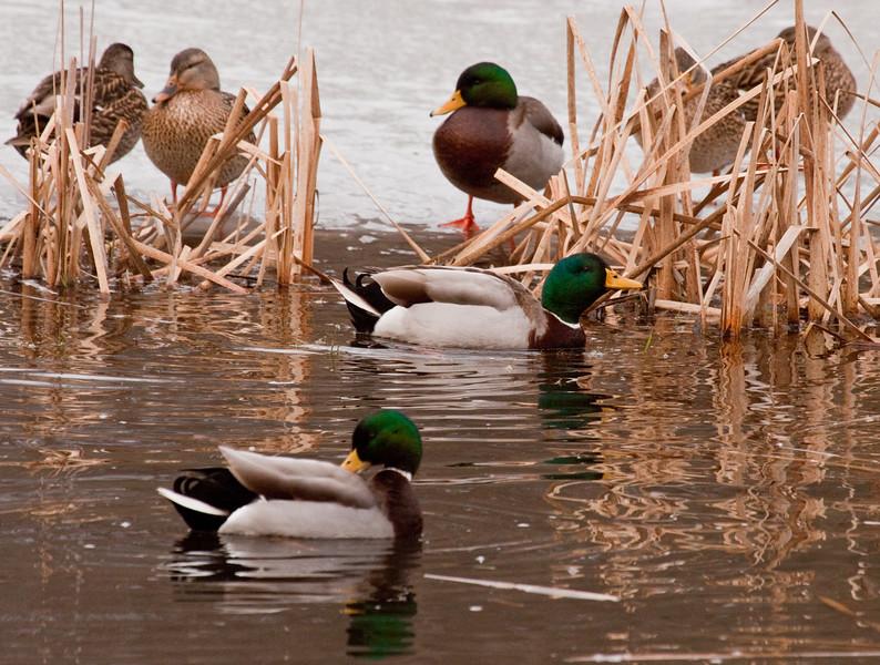 Mallard Hens And Drakes Phippsburg, Maine, waterfowl, birds, Sagadahoc County