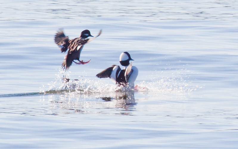 Buffle Head Hen & Drake Landing Phippsburg, Maine, waterfowl, birds, Sagadahoc County