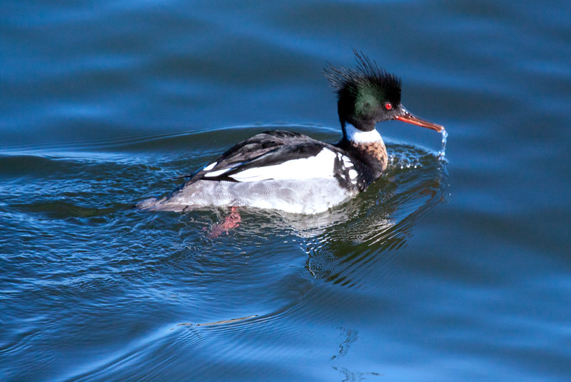 """Red Breasted Merganser drake, """"Sawbill"""" close up, dribbling water from its bill, Phippsburg, Maine spring Phippsburg, Maine, waterfowl, birds, Sagadahoc County"""