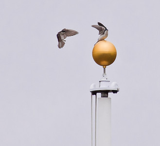 Tree swallows on flag pole topper, guilded, left one in flight