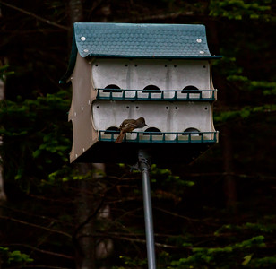 Great Crested Flycatcher checking out birdhouse, PHippsburg, Maine
