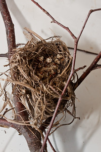 Yellow-rumped warbler nest from Hermit Island, Phippsburg Maine
