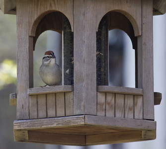 Tree sparrow looking out from bird feeder, Phippsburg Maine
