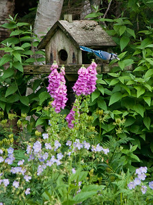 Bluejay on rustic feeder with pink Foxglove and blue geranium flowes, my Phippsburg, Maine coastal gardens in early summer.