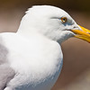 Herring Gull Head Shot