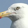 Herring Gull Eye And Bill Close Up