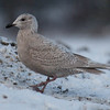 "Iceland Gull, Larus glaucoides at the Bath City landfill, Bath, Maine Decmeber. For a helpful link to gull identification, see this <a href=""http://www.tertial.us/gulls/gulls.htm"">http://www.tertial.us/gulls/gulls.htm</a>"