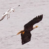 Herring gull attacking adult Bald eagle, Totman Cove, Phippsburg Maine