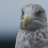 Herring gull close up, immature bird with brown, neck streaking, Phippsburg, Maine November