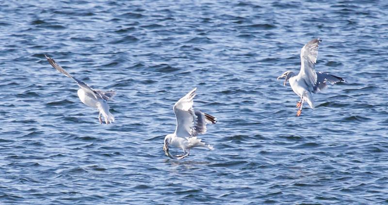 Herring gulls fishing for Mackerel in Totman Cove, Phippsburg, Maine
