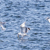 Herring gulls fishing for Mackerel in Totman Cove, Phippsburg, Maine