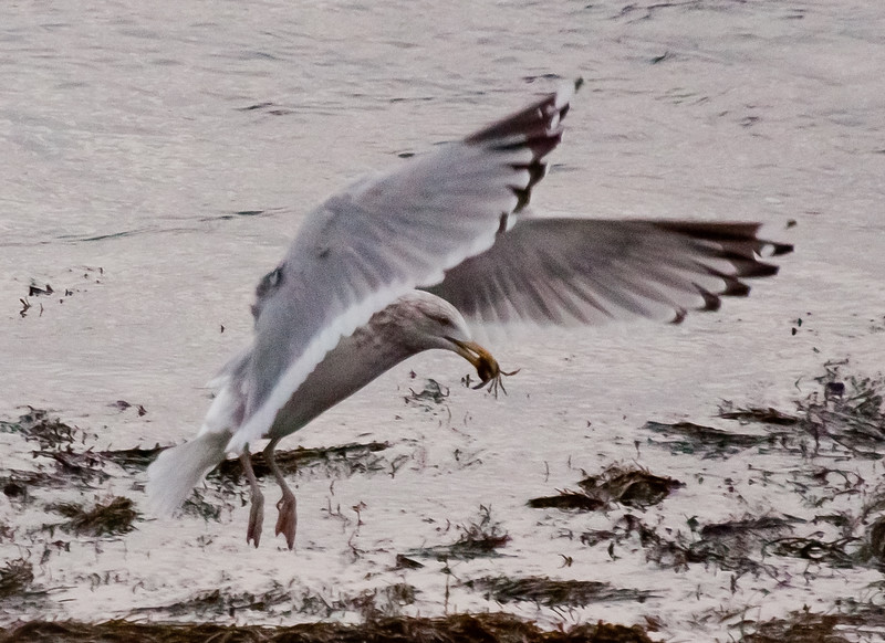 Juvenile Herring Gull With Crab