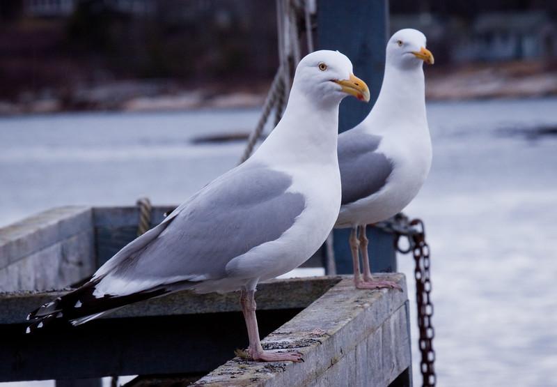 Herring Gull, Male And Female