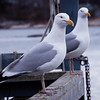 Herring Gull, Male And Female