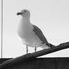 Herring Gull and rigging, black and white Phippsburg Maine