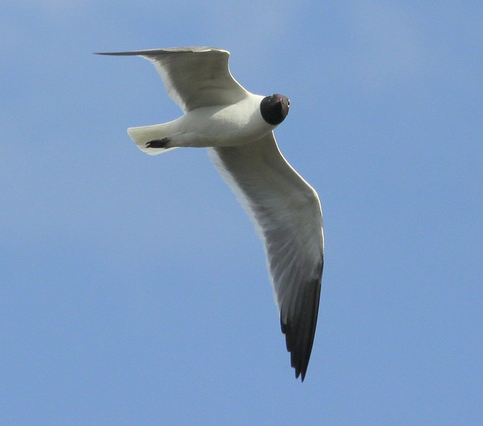 Laughing gull flight left looking