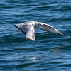 Bonaparte's gull in flight, a small, white gull usually seen in winter months on the Maine coast