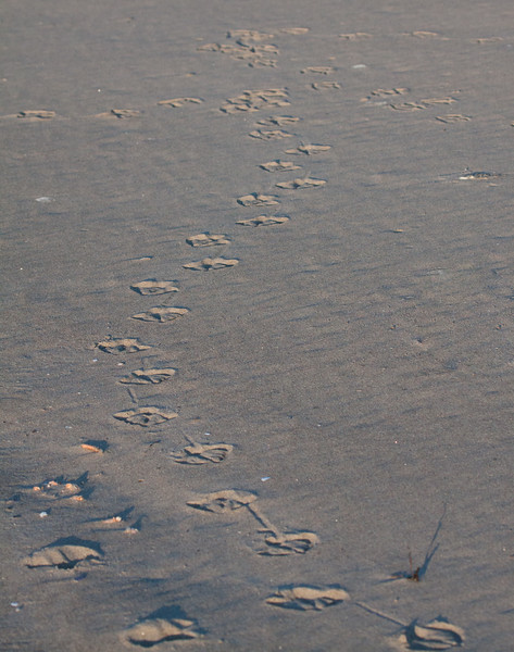 Seagull foot prints in sand, Phippsburg, Maine