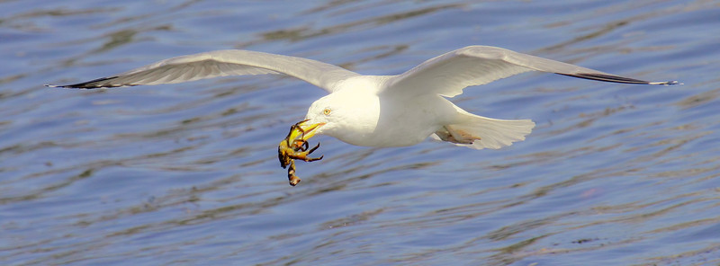 Herring Gull Flying With Crab