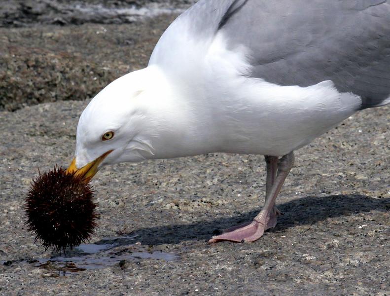 "Herring Gull With Sea Urchin ""Edible beret?"""