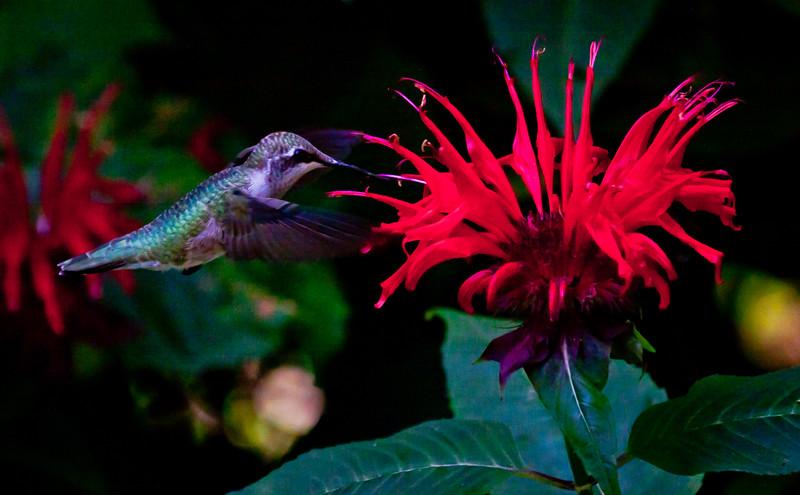 Ruby Throated hummingbird in red  Bee Balm Ruby-throated hummingbird, Phippsburg, Maine