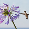 Hummingbird and Agapanthus Ruby-throated hummingbird, Phippsburg, Maine