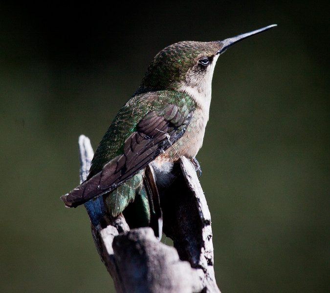 Ruby-throated hummingbird, Phippsburg, Maine