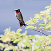 Male Ruby Throated hummingbird perched with full, brilliant red gorget, Phippsburg, Maine