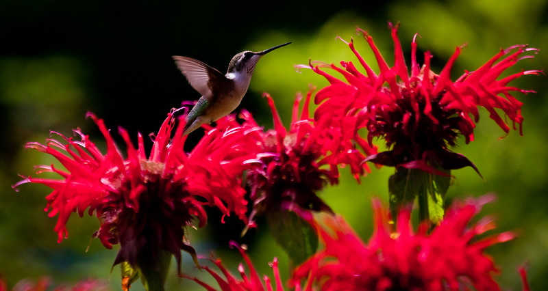 Ruby Throated Hummingbird In Red Bee Balm Ruby-throated hummingbird, Phippsburg, Maine