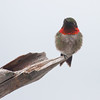 Ruby Throated hummingbird, male with gorgeous red gorget, perched on stick, Phippsburg Maine. Photo taken in May