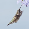 Ruby Throated hummingbird, juvenile male feeding on Agapanthus flowers in flight, Phippsburg Maine. Photo taken in August