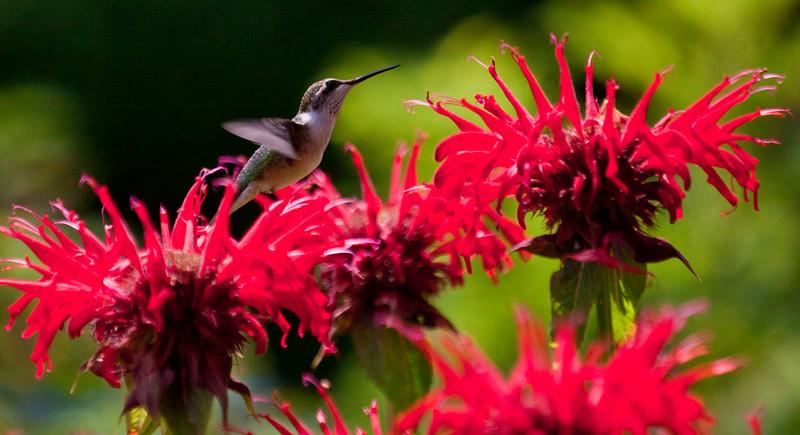 Ruby Throated Hummgingbird in Red Bee Balm Ruby-throated hummingbird, Phippsburg, Maine