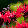 Ruby Throated Hummgingbird in Red Bee Balm Ruby-throated hummingbird, Phippsburg, Maine