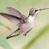 Ruby Throated Hummingbird female in flight deficating. Oh dear! Dirty bird! Unusual behavior photograph. Phippsburg, Maine