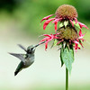 Ruby-throated hummingbird, Phippsburg, Maine, female, right facing, flight, Bee Balm