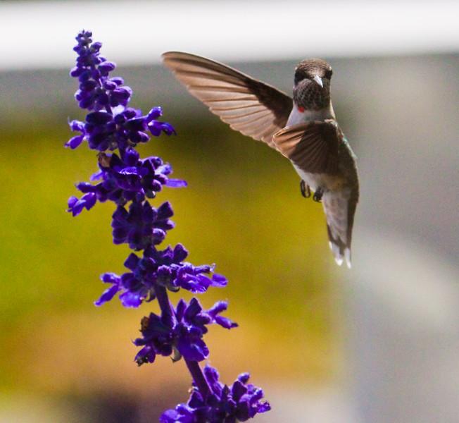 Ruby-throated hummingbird, male in flight, with purple salvia blossom, Phippsburg, Maine garden, bird is male