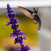 Ruby-throated hummingbird, male in flight, with purple salvia blossom, Phippsburg, Maine garden, bird is male