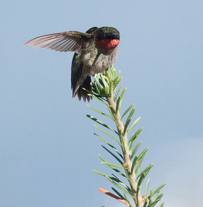 Ruby Throated Hummingbird in Maine, a male perched with red gorget showing, Phippsburg, Maine