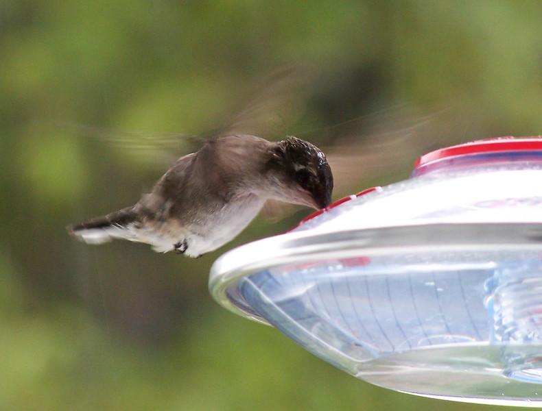 Ruby Throated Hummingbird in Maine, very migratory here