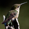 Ruby-throated hummingbird, Phippsburg, Maine