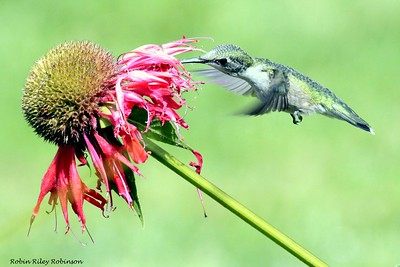 Ruby-throated hummingbird, female, flight with Monarda, also known as Bee Balm. It's probably Cambridge Scarlet, though I'm not sure. Phippsburg, Maine garden Ruby-throated hummingbird, Phippsburg, Maine