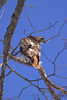 Red-tailed Hawk Eyeing Prey, red tail clearly visible, Rockland Maine