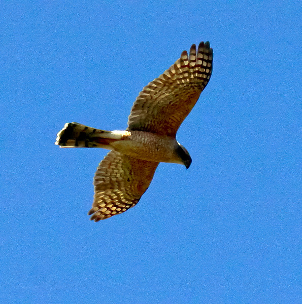 Broad-winged hawk in flight, right facing