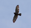 Sharp-shinned Hawk, Flight, Phippsburg, Maine, May