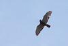 Sharp-shinned Hawk, Flight, Phippsburg, Maine, May