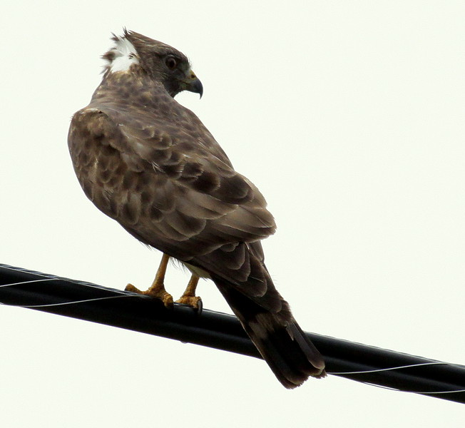 Broad-winged Hawk Ruffled Up