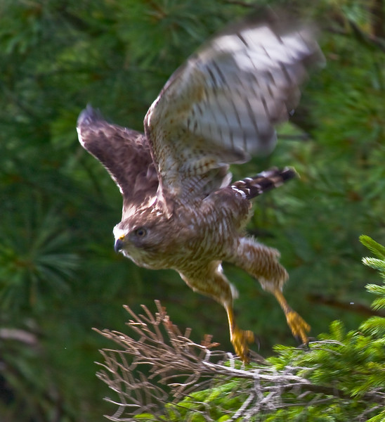 Red-Shouldered Hawk, Buteo lineatus, juvenile diving onto a snake, Phippsburg MaineTake Off