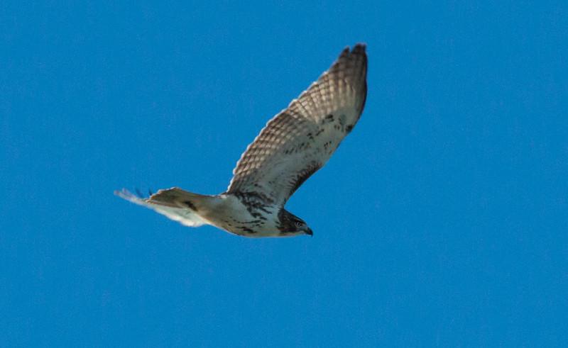 Red-tailed Hawk in flight, Hermit Island, Phippsburg Maine
