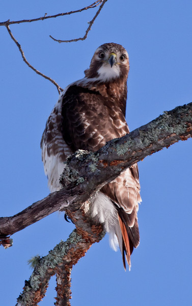 Inquisitive Red-Tailed Hawk, Maine