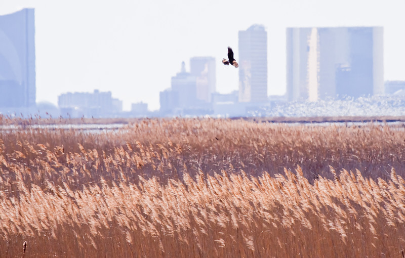 Northern Harrier, Atlantic City Skyline
